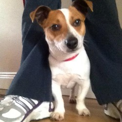 Found dog on 12 May 2013 in Balbriggan, Co. Dublin. Found: small jack russell, male, no collar. Balbriggan, Co. Dublin, almost hit by cars. Anyone recognise this dog?? very friendly. Will try and keep him overnight and check for microchip tomorrow but my dogs are going crazy so cannot hold onto him for long.
