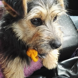 Reunited dog 12 May 2017 in Dublin. **REUNITED** Very friendly, female Yorkie cross, c. 1 year old, found on James's St, Dublin 8th on May 12th. Please get in contact if you know her!