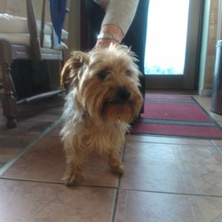 Found dog on 12 Oct 2014 in Clonsilla D15. Friendly female Yorkshire Terrier found in Clonsilla, D15 area. Around 2 years, not neutered, not microchipped. Must be missed by owner!