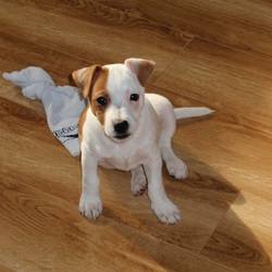 Found dog on 12 Oct 2014 in Wilton, Cork. Puppy, male, about 4 months, jack russel terier.