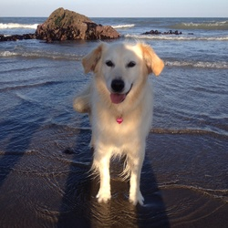 Found dog on 12 Oct 2015 in Killiney. Honey has been found safe and well on Monday 12th October. Thank you to all who helped in the search and for your messages of support.