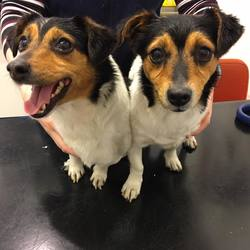 Found dog on 12 Oct 2017 in Palmerstown. UPDATE NOW IN THE DUBLIN POUND....found...2 stray doggies handed into us this evening. Found in Palmerstown together. Not microchipped.