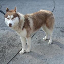 Found dog on 12 Sep 2014 in rathfarnham. found husky now in dublin dog pound.. Date Found: Thursday, September 11, 2014 Location Found: Whitechurch , Rathfarnham