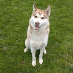 Found dog on 13 Apr 2015 in dunboyne. found husky .2yr old male Husky...found in Dunboyne..ref 175 .contact Meath pound on 087 0676766.