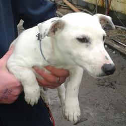 Found dog on 13 Feb 2015 in tallaght. found, now in the dublin dog pound.. Date Found: Thursday, February 12, 2015 Location Found: Police Station , Tallaght