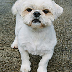 Found dog on 13 Jul 2015 in Kildare. Small Dog found in the Kildoon Tully Road, Co. Kildare. No chip. Well grromed and friendly.