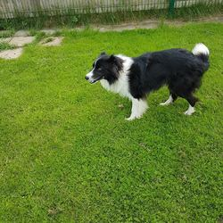 Reunited dog 13 Jun 2017 in Athboy Road Kells. UPDATE...REUNITED....found...2yr old Collie..ref 199..found Athboy Road Kells. Contact Meath pound on 087 0676766..thanks