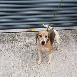 Found dog on 13 Jun 2017 in Ballinabarney. Longwood/ Clonar. found..Beagle..found with Barney in Ballinabarney. Longwood/ Clonard Co Meath ref...195...contact Meath pound on 087 0676766..thanks