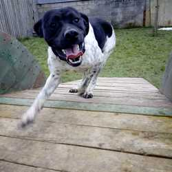 Found dog on 13 Mar 2018 in Oldcastle,. found,...Ref 59, Eddy, pointer x, about 1 year old, found in Oldcastle, contact 0870973911 with information