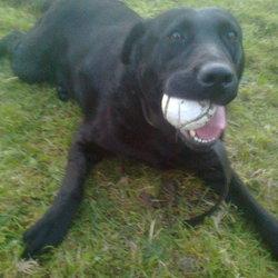 Found dog on 13 May 2015 in Moynalvey, Co. Meath. FOUND. BLACK LABRADOR. APPROX 5 YRS OLD. FRIENDLY ANIMAL FOUND MOYNALVEY, CO. MEATH.