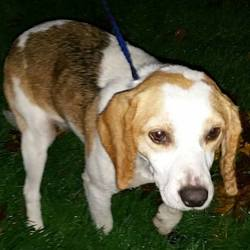 Found dog on 13 Nov 2015 in Bray Co Wicklow. FOUND, contact DSPCA....Male adult beagle type found 09/11/15 in Bray Co Wicklow.