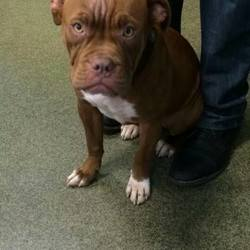 Found dog on 13 Oct 2014 in maynooth. found boxer maynooth....ref to https://www.facebook.com/292528260783856/photos/a.618676184835727.1073741825.292528260783856/732943886742289/?type=1&theater