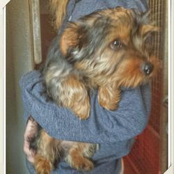 Found dog on 13 Oct 2014 in mullingar. FOUND yorkshire terrier... up at Tesco in Mullingar and dropped into the MULLINGAR DOG pound