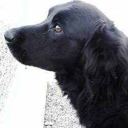 Found dog on 13 Oct 2015 in Killalon..kells.. found...2yr old Lab X...found in Killalon..kells...contact Meath pound...ref 449