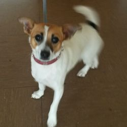 Found dog on 13 Oct 2016 in Roundwood... found.. female Terrier who was found in Roundwood with her. Contact Wicklow Dog Pound for information on 040444873.