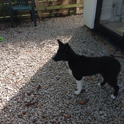 Found dog on 13 Sep 2015 in Swords. Found in swords on sat female pup