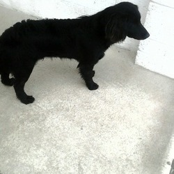 Found dog on 14 Apr 2015 in trim. found male, .2yr old Male Spaniel..found in Trim...ref 179...contact Meath pound