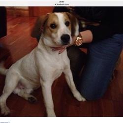 Found dog on 14 Dec 2014 in Clarehall , Malahide rd.. Found male, possibly beagle cross, Clarehall, Malahide road , dublin 5. Sunday 14 Dec.