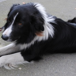 Found dog on 14 Feb 2013 in Dublin. Found: Collie dog in Clontarf/Fairview area about a week ago. Dog is approx. 2 years old. Not microchiped. Very friendly. If somebody knows who the owner please contact Barry at 0872761002