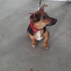 Found dog on 14 Feb 2014 in enfield. jack russel found in Newtown, Enfield, Co. Meath.contact Meath pound on 086 3696413