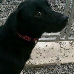 Found dog on 14 Feb 2017 in Belreask Village, Navan. found...Lab x (small) aprrox. 18mts...found Belreask Village, Navan..ref 49...contact Meath pound on 087 0676766...thanks