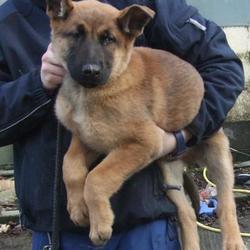 Found dog on 14 Feb 2017 in Castle , Rathfarnham. found, now in the dublin dog pound... Date Found: Monday, February 13, 2017 Location Found: Castle , Rathfarnham