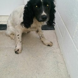Found dog on 14 Feb 2017 in Trim Road Longwood. found....2yr old Springer....found Trim Road Longwood..ref 50...she is quite scared. Please contact Meath pound on 087 0676766..thanks