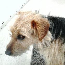 Found dog on 14 Jul 2015 in Clonee village . found 2yr old Yorkie X found in Clonee village ref 318...contact Meath pound..