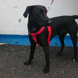 Found dog on 14 May 2015 in Dublin 8. Young black Lab X found in Dolphin's Barn, Dublin 8  No collar, not spayed, no microchip.