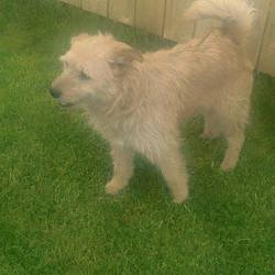 Found dog on 14 May 2015 in Kingscourt Navan.. Rusty (real name)....found with Micra & Max in Barley Hill, Kingscourt Navan...contact Meath pound..