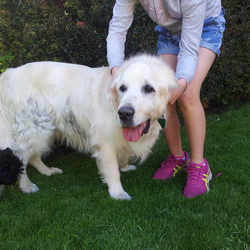 Found dog on 14 May 2016 in sandymount. retriver type dog, red collar found in sandymount area
