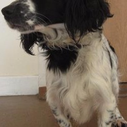 Found dog on 14 Nov 2017 in Bray. found...is a male spaniel crossbreed found in Bray area. Please contact Wicklow Dog Pound at 0404 44873 for further information.