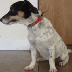 Found dog on 14 Nov 2017 in in Bray town.. found... female Jack Russell crossbreed found in Bray town. Please contact Wicklow Dog Pound at 0404 44873 for further information.