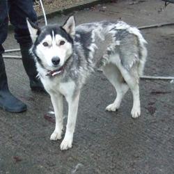 Found dog on 15 Dec 2014 in Kilnamanagh. found husky, now in the dublin dog pound.. Date Found: Friday, December 12, 2014 Location Found: Parkhill , Kilnamanagh