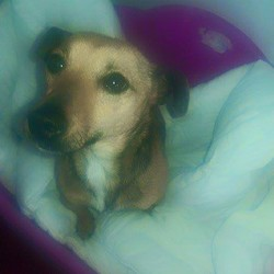 Found dog on 15 May 2015 in Ratoath ..meath. found ..female Jrt (in heat) brought in from Ratoath vets...contact Meath Pound...ref 243