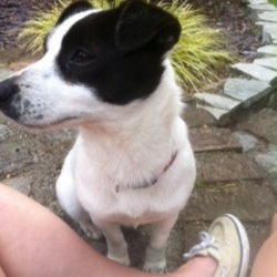 Found dog on 15 Sep 2014 in North County Dublin . Black and White JRT X, female, about 2 years old. Very friendly. Found by national school on R130 Coolquay
