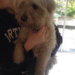 Found dog on 15 Sep 2015 in Galway. Small white terrier, with a blue coller found on NUIG campus in Galway