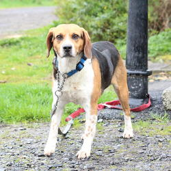 Found dog on 16 Apr 2015 in dublin area. found beagle, now in the dublin dog pound., Not sure of area where found...