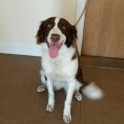 Found dog on 16 Apr 2015 in Wicklow. Collie x found Baltinglass, Co Wicklow.  Contact Wicklow Dog Pound for information on 040444873