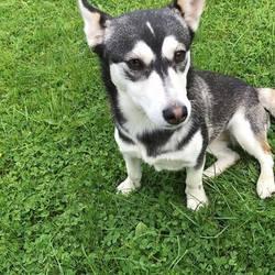 Found dog on 16 Aug 2017 in Liscarton Kells Road...Navan. found...2yr old Jrt x Husky..ref 255...found Liscarton Kells Road...Navan..contact Meath pound on 087 0676766..thanks