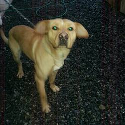 Found dog on 16 Dec 2014 in newgrange. found male 3yr old Lab X approx...ref 582...found in Douth, Newgrange...Donore Co Meath...contact Meath Pound...microchipped but not registered