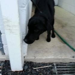 Found dog on 16 Dec 2014 in wilkinstown. found 2yr old female black Lab....ref 580...found in Wilkinstown....very underweight ....contact Meath pound