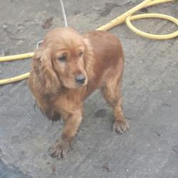 Found dog on 16 Jan 2017 in Lucan , Lucan. found, now in the dublin dog pound.. Date Found: