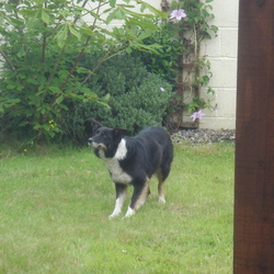 Found dog on 16 Jul 2012 in Moycullen. Found female border collie.