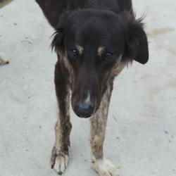Found dog on 16 May 2017 in ashbourne. found..Found - Saluki - found on n3 near ashbourne if you know this dog please contact us on 01-8791834 or 01-8791838 ref to dogs trust