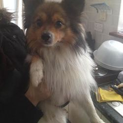 Found dog on 16 Nov 2014 in Newbridge, Kildare. Small pom-type dog found in Newbridge today, red reflective collar - contact me on 083 361 9866
