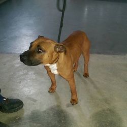 Found dog on 16 Oct 2015 in kells. found...Buster 3yr old staffie...ref 455..(he is microchipped but the phone number is out of service).....found in Kells...this boy will only be returned to owner or homed to Rescue.....contact Meath pound on 087 0676766....thanks