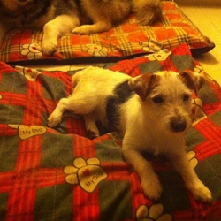 Found dog on 17 Dec 2014 in Saggart. Wired haired terrier female not neutered has a microchip but not officially working. Has brown ears with spots in them and black spot on the hind. Under 1 year old