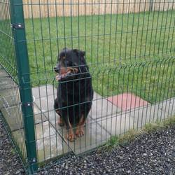 Found dog on 17 Feb 2014 in Kells. Rottie male (entire) approx 4/5 yrs ..(entire) ...found Allenstown Kells ..very friendly.contact Meath Pound on 086 0676766