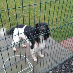 Found dog on 17 Feb 2014 in Navan. male Springer X approx 10mts. (entire) ...in very bad condition...very thin & matted. Found at Lidl Navan...very friendly..